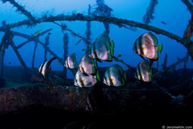 Batfishes at Puerto Galera, Philippines