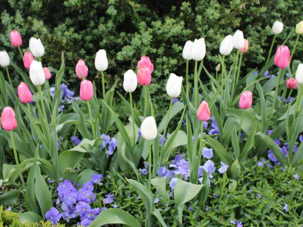 Tulips in Elizabeth Locke's Garden