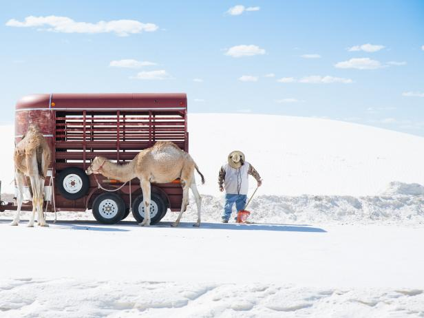 Camels at White Sands National Park
