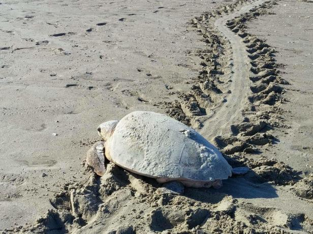 Bald Head Island Turtle Conservation