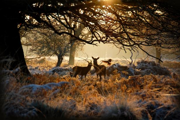 Deer in Richomnd Park