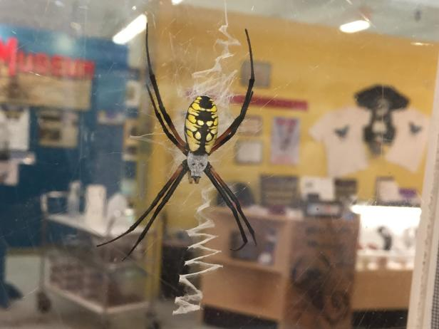 The Orb Weaver Spider at the Harrell House Bug Museum