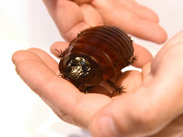 The Giant Burrowing Cockroach