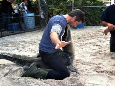 Don Wildman wrestles an alligator