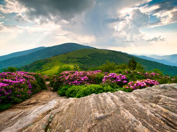 Rhododendron Bloom on Blue Ridge Appalachian Trail
