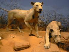 Man-Eating Lions