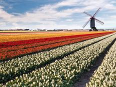 tulip field, windmill, netherlands, amsterdam