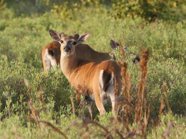 National Key Deer Refuge, endangered, Florida