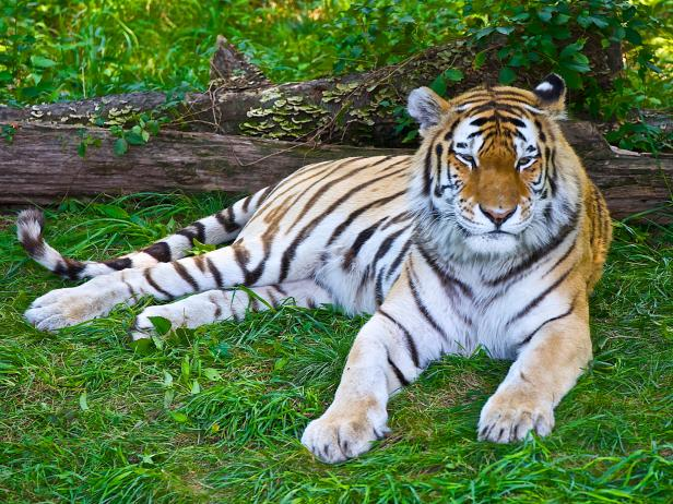 Tiger laying in the grass at Bronx Zoo