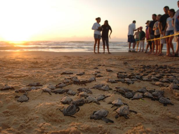 Baby Turtles, South Padre Island