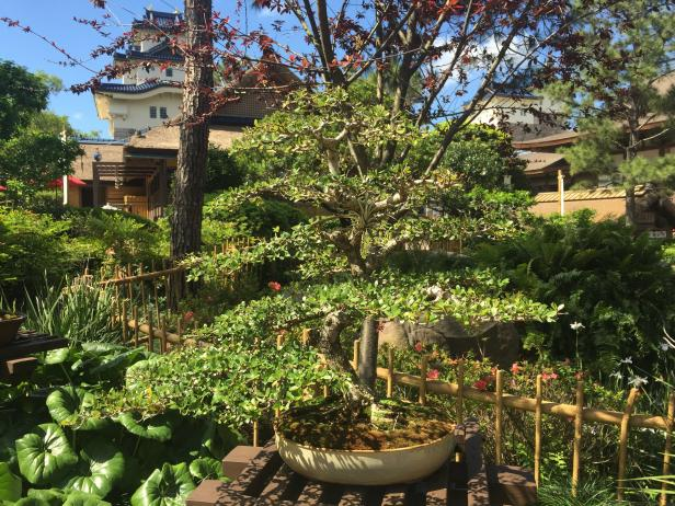 Bonsai Tree in Epcot's Japan