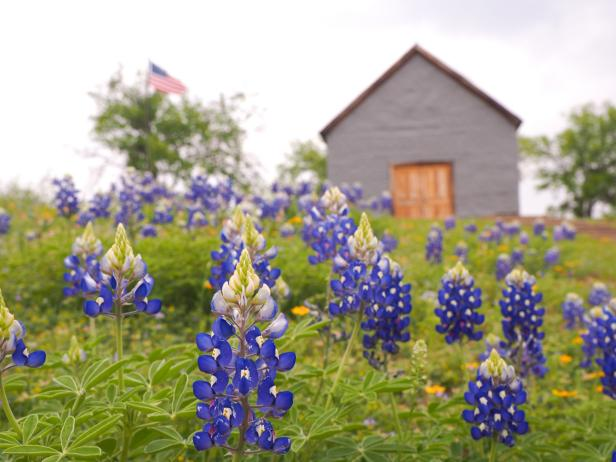 Bluebonnets in Fredericksburg, Texas