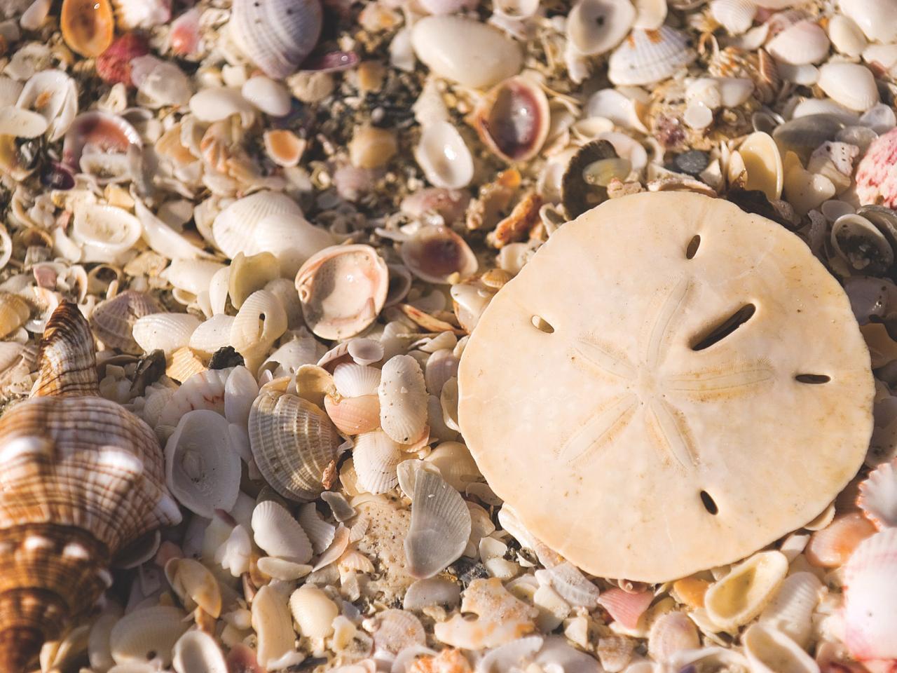 Sand Dollars On Florida Beaches