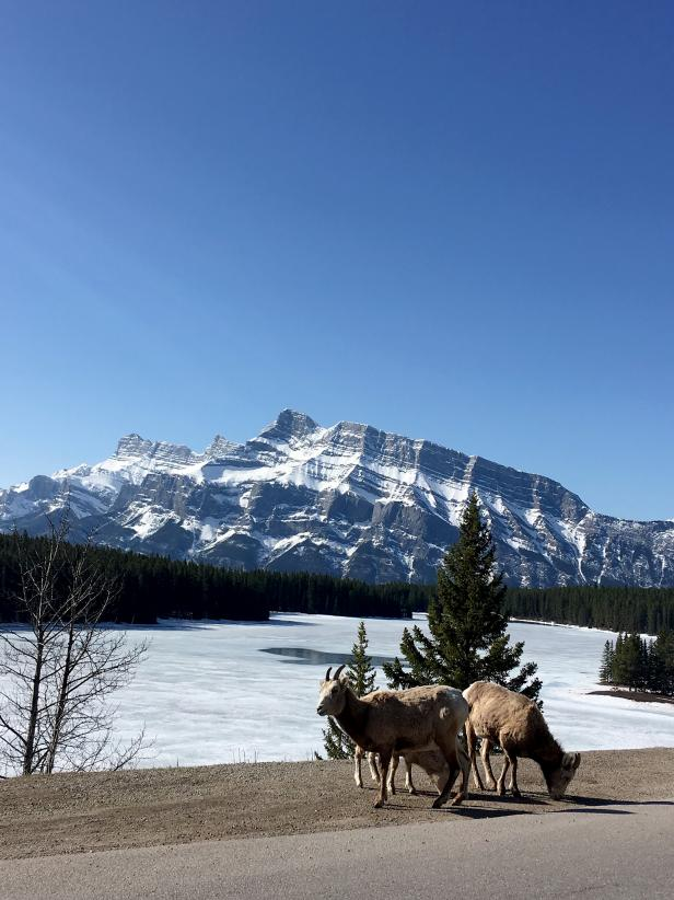 Banff Mountain Goats