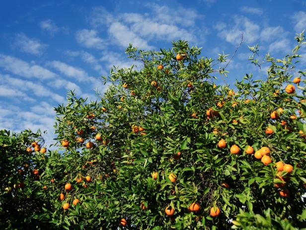 orange grove, tree, citrus, Los Angeles, California