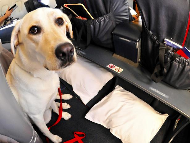 Dog sitting in first class seating of an airplane