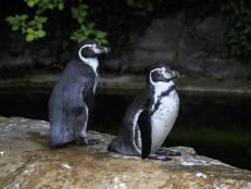 Penguins in Dublin City Zoo